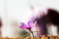 How is saffron quality measured?