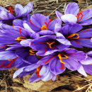 What is saffron?