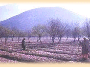 SAFFRON CULTIVATION